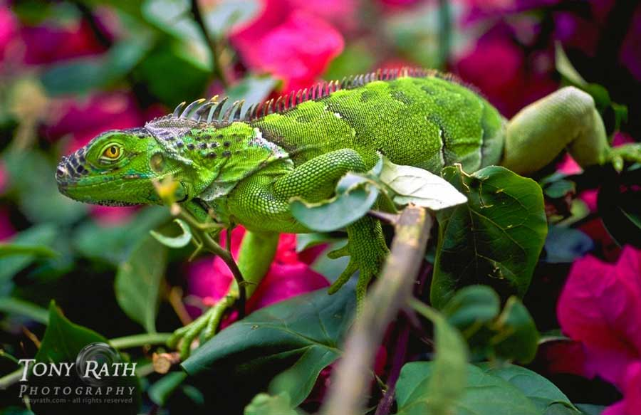 belize_animals_safari_green_iguanas_chaa_creek