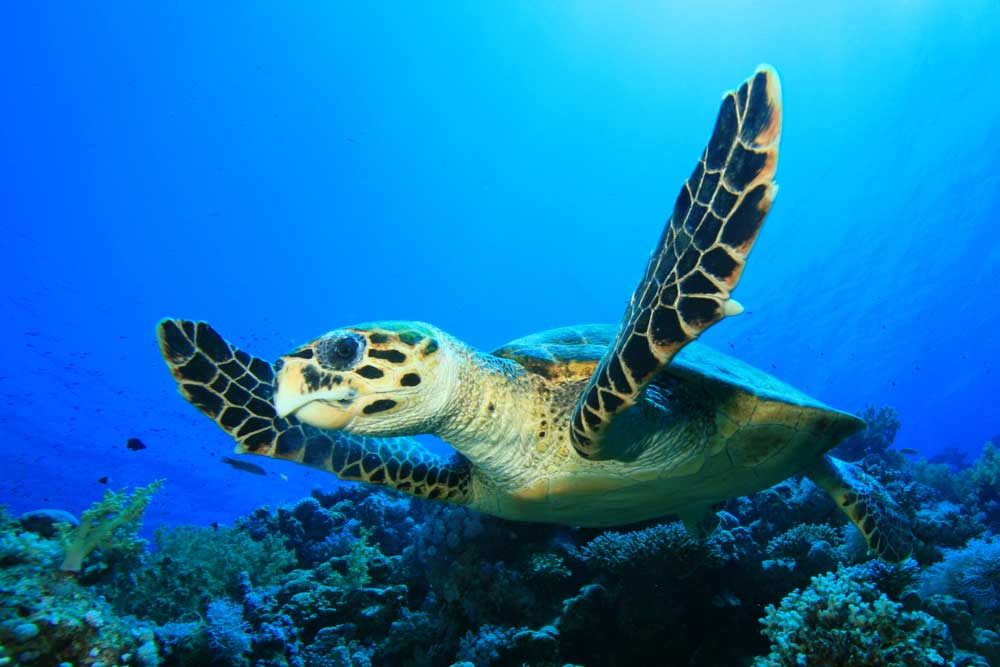 belize_animals_safari_green_sea_turtles_travel_guide_chaa_creek