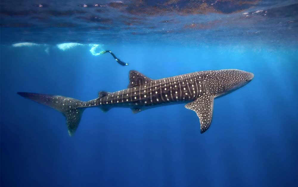 belize_diving_guide_scuba_whale_shark