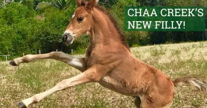 chaa-creek-new-horse