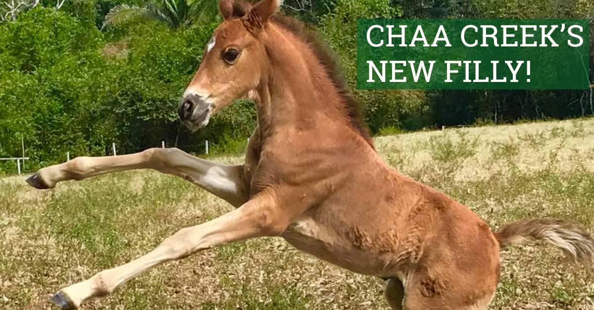 chaa-creek-new-horse