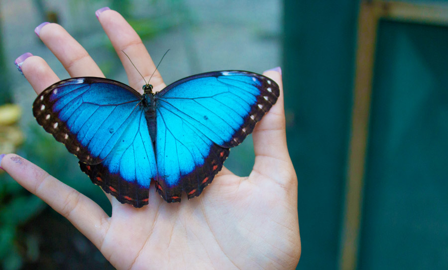 san-ignacio-chaa-creek-butterflies