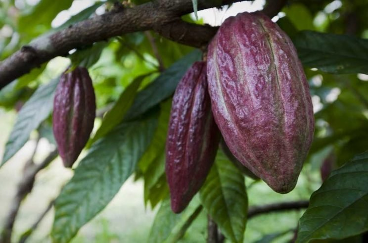 belize-chocolate-cocoa-pod