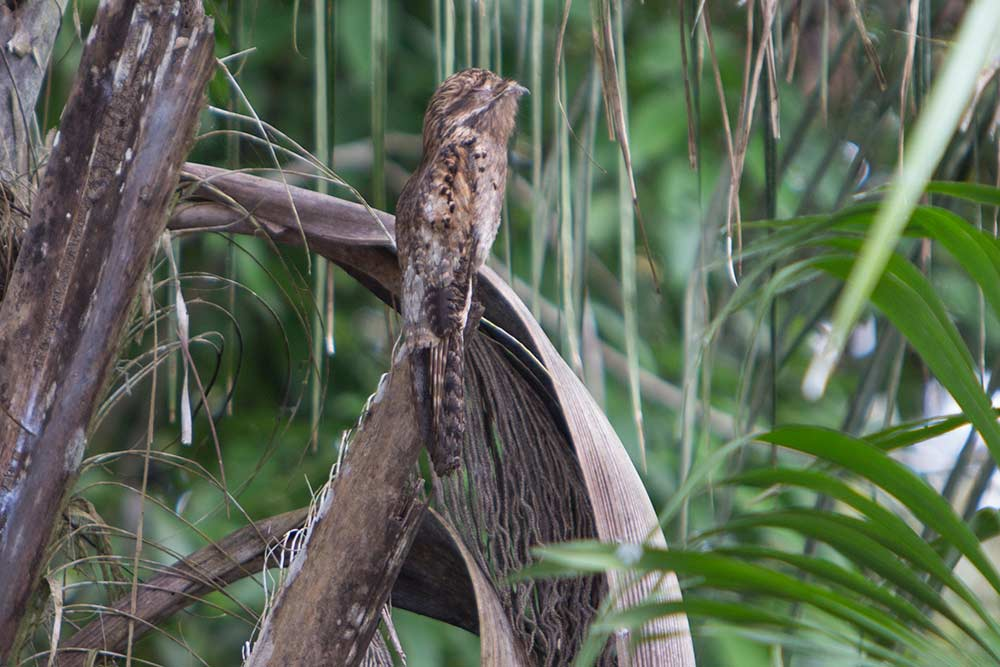 belize-birding-great-potoo