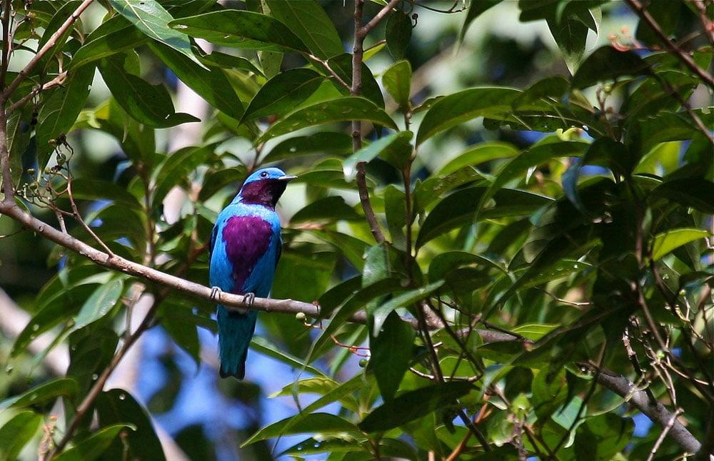 belize-birding-lovely-cotinga