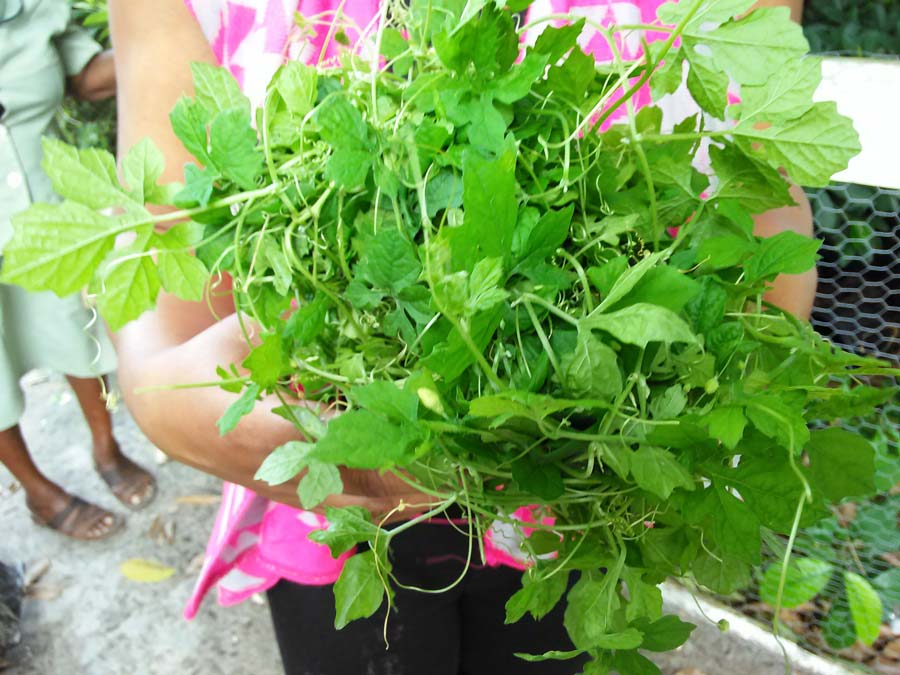 Belize natural remedy sorosi herb