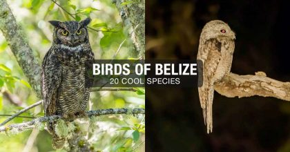 Birds of Belize 20 Cool Species Header