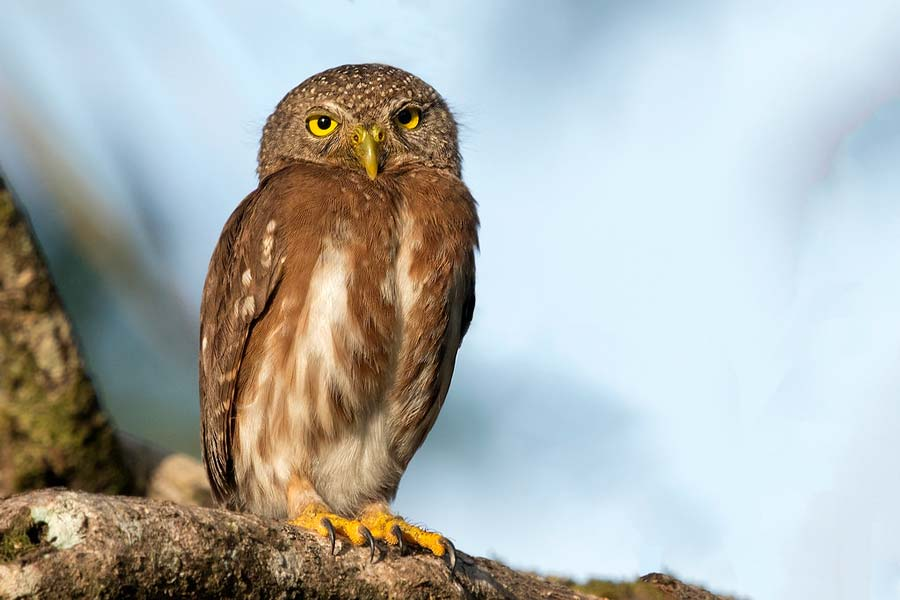 Birds of Belize Central American Pygmy Owl