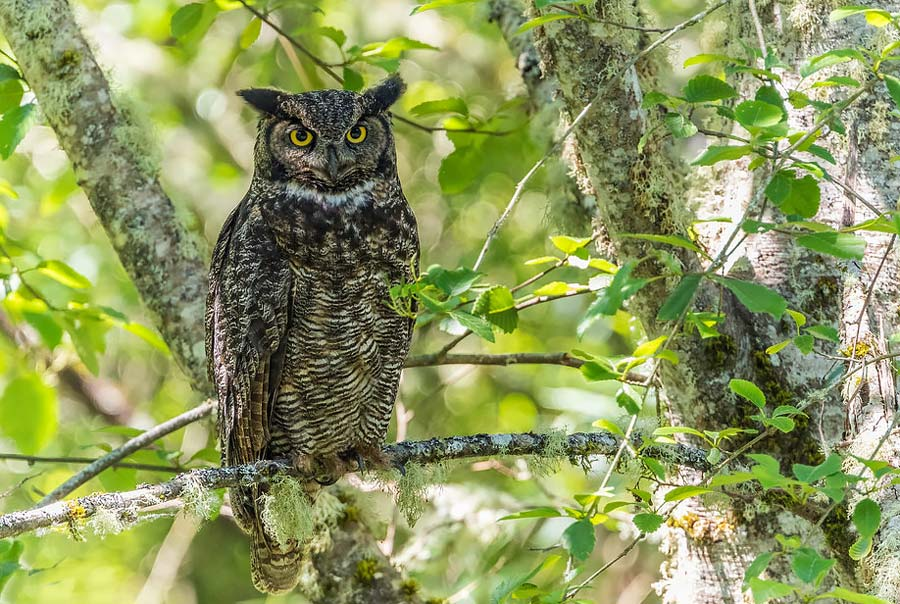 Birds of Belize Great Horned Owl