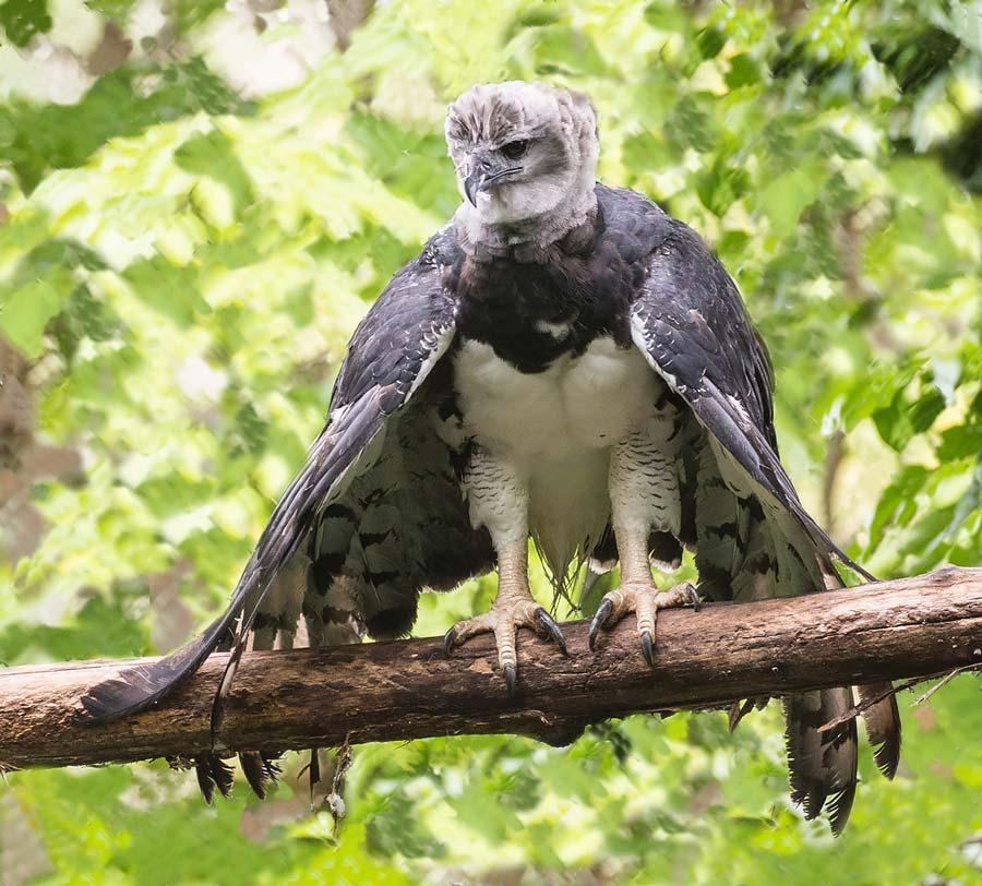 Birds of Belize Harpy Eagle