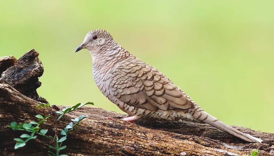 Birds of Belize Inca Dove
