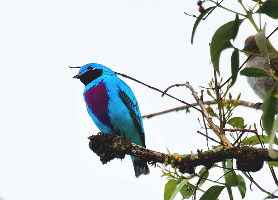 Birds of Belize Lovely Cotinga