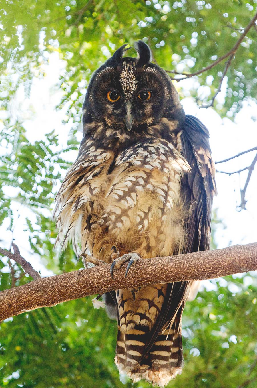 Birds of Belize Stygian Owl