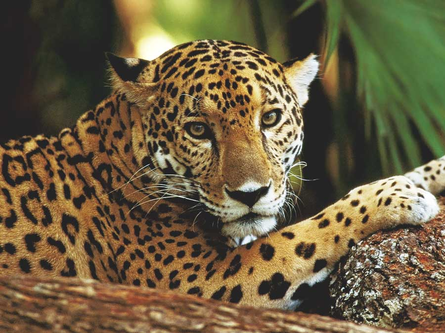 Belize jaguar big cats