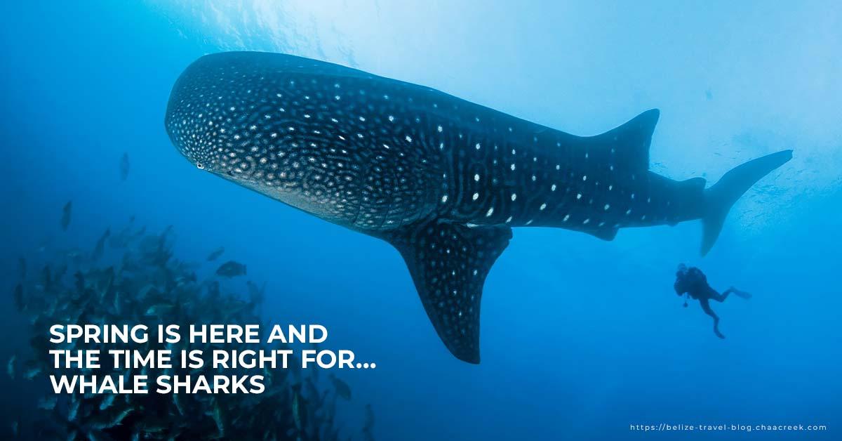 Belize spring break whale shark diving 2019 header