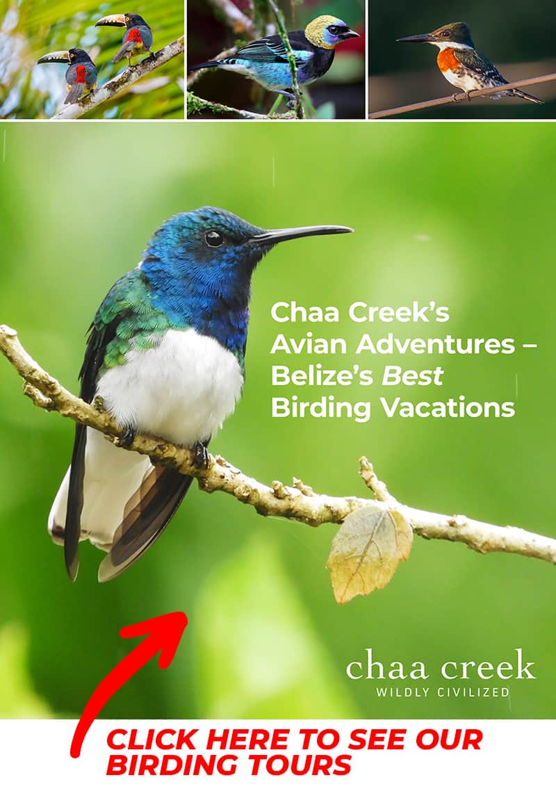 Chaa Creek Belize Birding Tours PDF